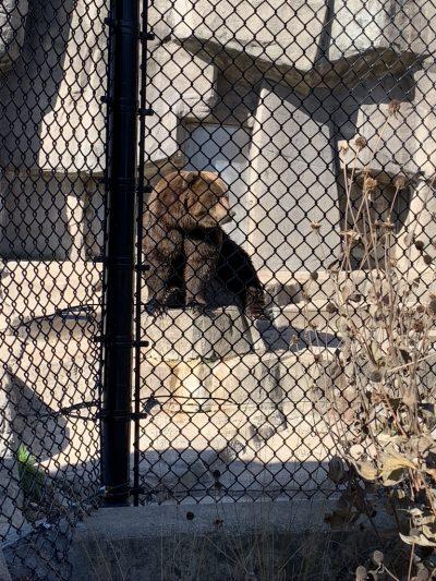 Kodiak Bear, Wildwood Zoo